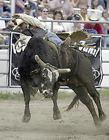 "29 August, 2004:  PRCA Rodeo Bull Rider Trent Cormier riding the bull ""Lap Dancer"" during the PRCA 2004 Extreme Bulls competition in Bremerton, WA."