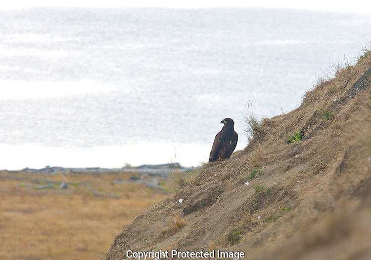A fledgling Bald Eagle on Protection Island sits outside Auklet burrows waiting for the chicks to stick their heads out to make a quick meal.
