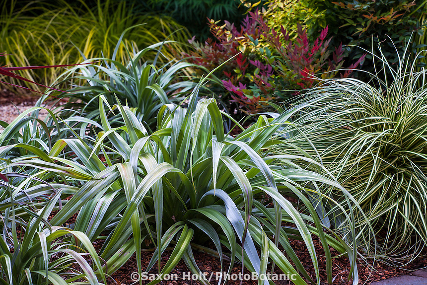 Silver foliage Astelia 'Silver Shadow' in border; Sunset Western Garden Collection