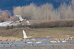 Wetlands in early spring with Tundra Swans (Cygnus Columbianus), ducks and geese at Kootenai National Wildlife Refuge near Bonners Ferry, Idaho