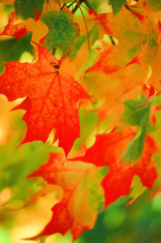 Fall Leaves No. 2 Taken in Virginia  on Fuji Velvia 100 film