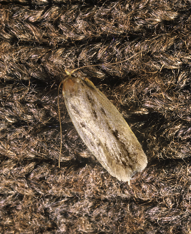 Brown House Moth - Hofmannophila pseudospretella