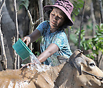 Klock Ing washes her cow in the Cambodian village of Char. The animal was provided as part of an income generating project sponsored by the Community Health and Agricultural Development program of the Methodist Mission in Cambodia.