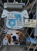 A dog rescued from the nuclear evacuation zone by ARK animal refuge outside Osaka, Japan, 26th May 2011.  ARK has rescued more than 200 dogs, 16 cats and a guinea pig from with-in the nuclear exclusion zone surrounding the Fukushima Daiichi nuclear power plant in Japan...© Richard Jones/ sinopix.PHOTO BY SINOPIX