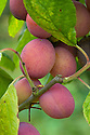 Plum 'Cox's Emperor' (syn. 'Queens Crown'), mid August. A very old variety, allegedly from Denbigh, North Wales, c. 1785.