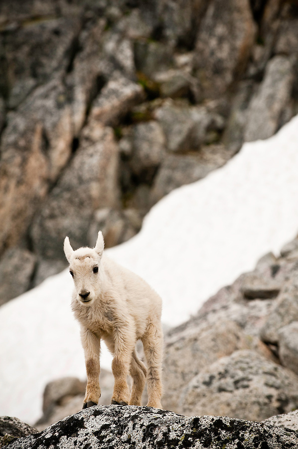 Young Mountain Goat (Oreamnos americanus), The Enchantments, Alpine Lakes Wilderness, WA.