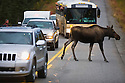 Alaska, Denali National Park, cow moose crossing road in between tourist vehicles