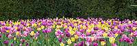 63821-22604 Yellow and pink tulips in spring, Chicago Botanic Garden, Glencoe, IL
