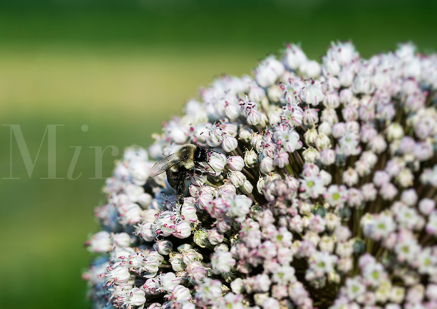 Bee on Onion flower, Allium.