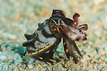Flamboyant cuttlefish, Metasepia pfefferi, Highly poisionous, one of the most poisonous creatures on Earth