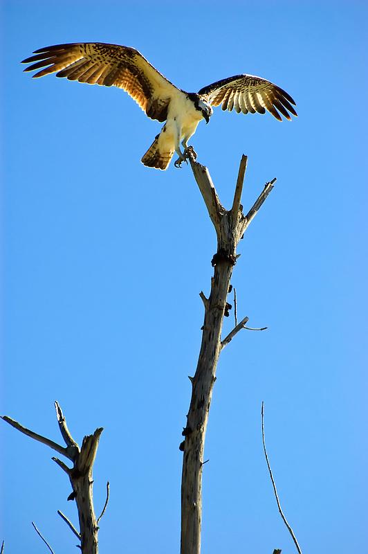 Osprey spreading its wings on top of a dead tree in Punta Rassa, Florida. Beautiful!!!