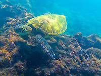 A honu (or green sea turtle) swims over the coral reef around One Palm, Big Island.