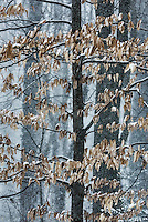 Beech tree with dried leaves in winter snow storm, New Jersey, USA.