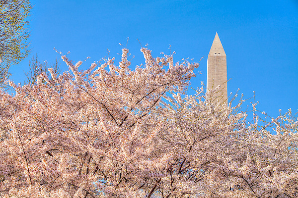 Cherry Blossoms Washington Monument Washington DC<br /> Cherry Blossoms blooming around the Tidal Basin, National Mall , and US Capitol in Washington DC symbolize the natural beauty of our Nation's Capital City and has become part of Washington DC's rite of Spring.  Landmarks include the Jefferson Memorial, Washington Monument, and US Capitol.  A popular tourist attraction and travel destination for many visiting Washington DC.