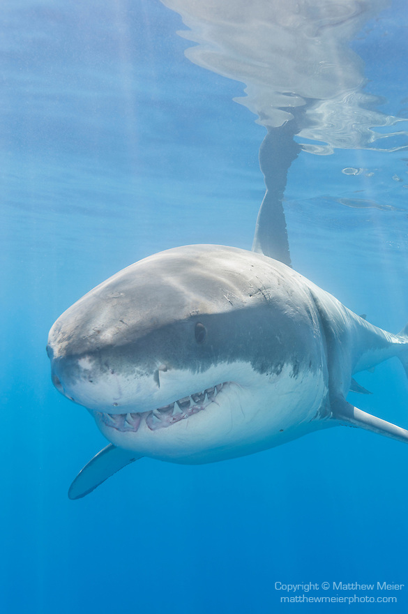 Guadalupe Island, Baja California, Mexico; a large, adult male Great White Shark (Carcharodon carcharias) swimming just below the surface reflects in the calm water above