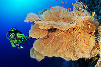 Annella mollis (Syn: Subergorgia mollis oder Subergorgia hicksoni ), Korallenriff mit Riesen Gorgonienfaecher und Taucher unter wasser, Coral reef with Giant Sea Fan, Gorgonian and Scuba diver, under water, Hurghada, Insel Giftun Riff, Rotes Meer, Ägytpen, Giftun Island Reef, Red Sea, Egypt