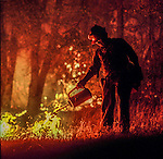 August 18, 1992 Angels Camp, California -- Old Gulch Fire— US Forest Service firefighter uses drip torch on Sheep Ranch Road. The Old Gulch Fire raged over some 18,000 acres, destroying 42 homes while threatening the Mother Lode communities of Murphys, Sheep Ranch, Avery and Forest Meadows.