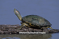 02536-00108 Red-eared Slider (Trachemys scripta elegans) on log Starr Co. TX