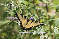 03023-02820 Eastern Tiger Swallowtail Butterfly (Papilio glaucus) on Butterfly Bush (Buddleia davidii), Marion Co., IL