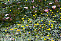 0723-1002  Ornamental Garden Pond with Full Bloom Water Lilies - Nymphaea  © David Kuhn/Dwight Kuhn Photography
