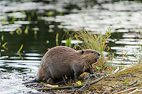 North American Beaver (Castor canadensis) at communal feeding area along edge of pond.  Northern Rockies,  Fall.  Beaver often have a regular (usually several) feeding area within their home territory where they will bring small limbs to feed on.