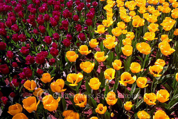 Yellow Tulips / Tulip and Red Tulips in bloom, Spring Flowers blooming in Flower Garden and Bed
