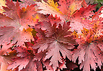 Detail, red fall foliage, Kodiak Island, Alaska, USA.