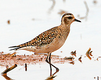Adult American golden plover in non-breeding plumage