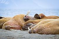 Atlantic walrus, Odobenus rosmarus rosmarus, adult, male, hauled out on the beach, Poolepynten, Prins Karls Forland, Svalbard, Norway, Barents Sea, Atlantic Ocean