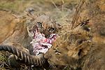 African Lion (Panthera leo) female and cubs feeding on Puku (Kobus vardonii) prey, Kafue National Park, Zambia