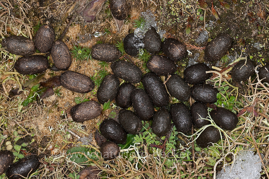 Reh-Losung, Losung, Kot, Kotpillen vom Reh, Rehwild, Capreolus capreolus, Roe Deer