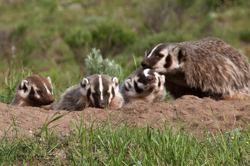 American Badger (Taxidea taxus). Badgers are born blind, furred, and helpless. Eyes open at 4 to 6 weeks. The female feeds her young solid foods prior to complete weaning, and for a few weeks thereafter. Young American badgers first emerge from the den on their own at 5 to 6 weeks.