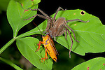Huntsman spider. Heteropoda sp, Panama, feeding on shield bug, Central America, Gamboa Reserve, Parque Nacional Soberania