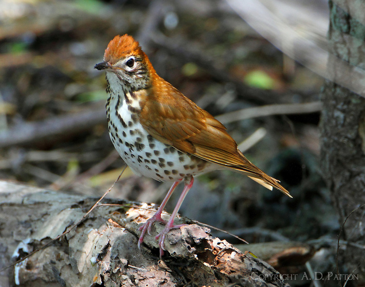Adult wood thrush in spring migration
