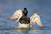 Lesser Scaup (Aythya affinis), male exercising his wings in a pond at Papago Park in Phoenix, Arizona.