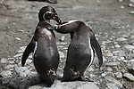 Humboldt Penguins standing and mutual grooming (Spheniscus humboldti).