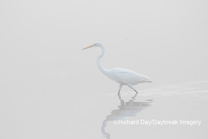 00688-02213 Great Egret (Ardea alba) in wetland in fog, Marion Co., IL