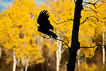 A Great Grey Owl takes flight in Jackson Hole, Wyoming.
