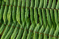 overlapping green fern