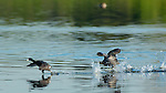 Coot Dispute, Coots Running on Water, American Coot, Sepulveda Wildlife Refuge, Southern California