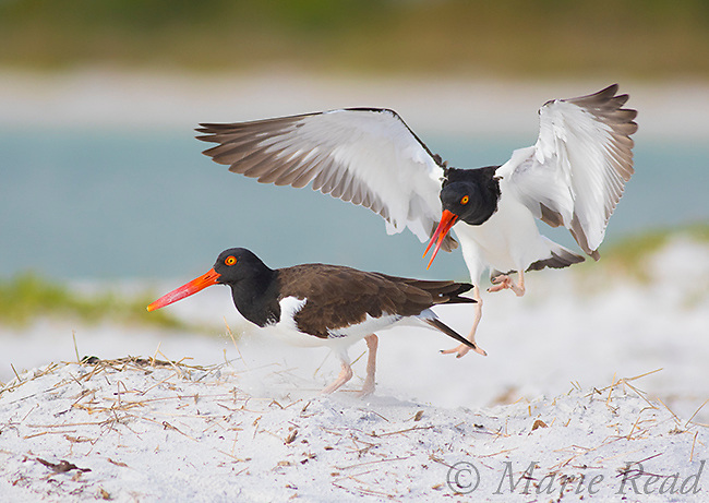 American Oystercatchers (Haematopus palliatus) pair interacting. The male (midair) was approaching the female to mate but she was not ready and turned away, Fort De Soto Park, Florida, USA