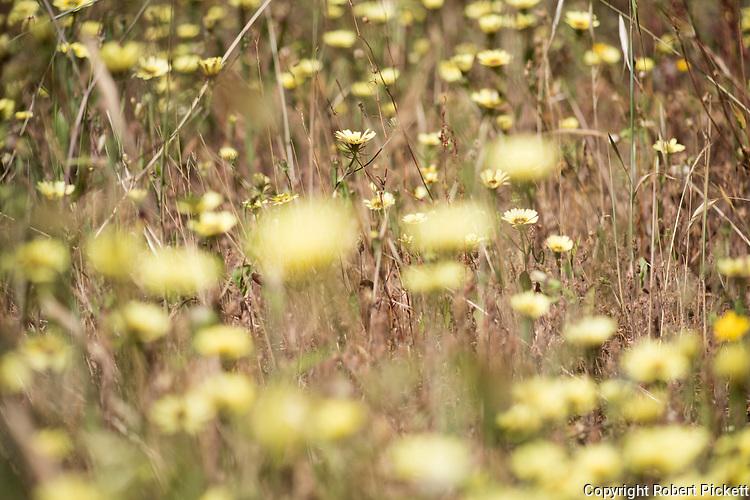 European Umbrella Milkwort, Tolpis barbata, Ria Formosa East, Algarve, Portugal