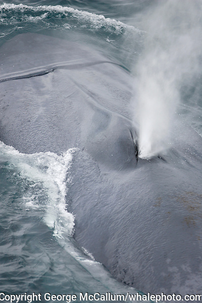 Blue whale Balaenoptera musculus close up view of spout Spitzbergen Barents sea North east Atlantic