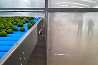 Avocados are seen moving up a conveyor belt during the cleaning process at a processing plant in Sonsón, Antioquia department, Colombia, 22 October 2019. Over the past decade, the Colombian avocado industry has experienced massive growth, both as a result of general economic development in Colombia, and the increased global demand for so-called superfood products. The geographical and climate conditions in Antioquia (high altitude, no seasonal extremes, high precipitation rate) allow two harvest windows of the Hass avocado variety across the year. Although the majority of the Colombian avocado exports are destined towards Europe now, Colombia aspires to become one of the major avocado suppliers to the U.S. market in the near future.