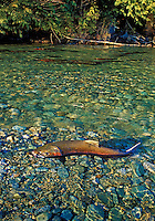 "COHO SALMON aka ""silver"" salmon. Spawning.grounds range from California to Alaska. Migration..(Oncorhynchus kisutch)."