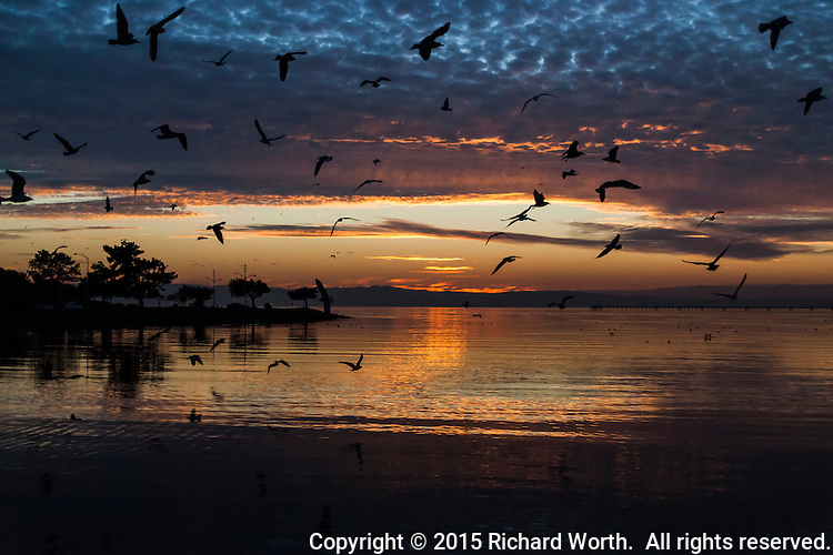 A screech of gulls flies in disarray over the glowing waters of San Francisco Bay at sunset.