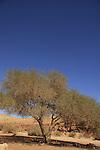 Israel, Negev, Acacia tree in Wadi Ardon