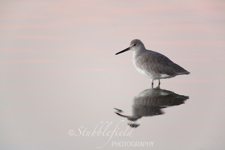 Willet (Catoptrophorus semipalmatus semipalmatus), Eastern subspecies, in winter plumage resting on a pond with a pink sunset reflecting in the water.
