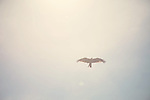 a bird of prey in flight, the sun on their back lighting the way