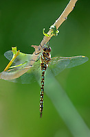 339570003 a wild male paddle-tailed darner aeschna palmata perches on a plant stem along big pine creek at about 8,000 feet in central inyo county california united states